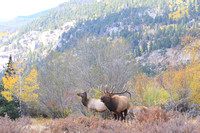 Rocky Mountain Nat. Park - Elk Sept 2012