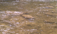 Boulder - Creek - Fish rise to BWO right in front of this rock
