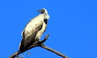 41 - White Backed Vulture