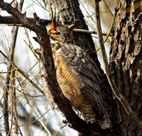 Boulder, Colorado - Great Horned Owls
