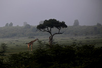 Giraffe In the Morning Mist