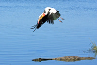 20 - Yellow Billed Stork and Croc
