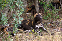 African Wild Dog - Ol Pejeta Conservancy