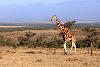 Reticulated Giraffe - Ol  Pejeta Conservancy