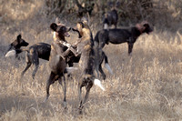 African Wild Dogs - One of the most endangered species in the world