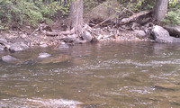 Boulder Creek - Fish Rise to BWO along foam line in front of tree